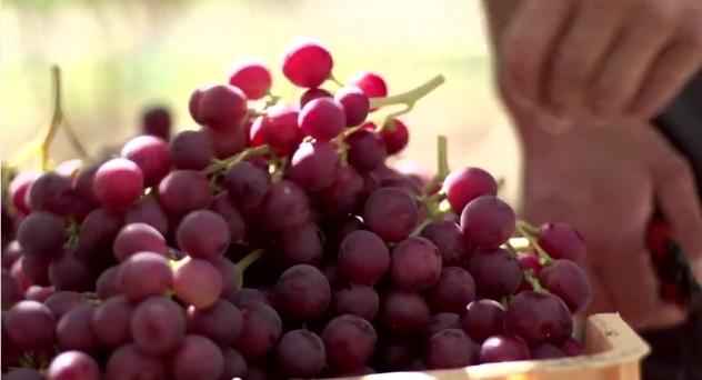 La uva, todo un símbolo de nuestra cultura