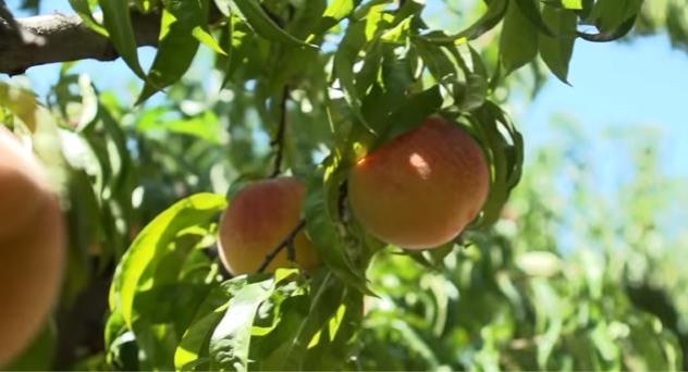 Melocotones y nectarinas de Aragón