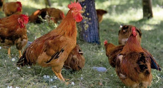 Pollos que saben